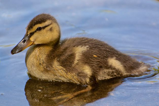 MALL_duckling-North_Vancouver-2014-05-31